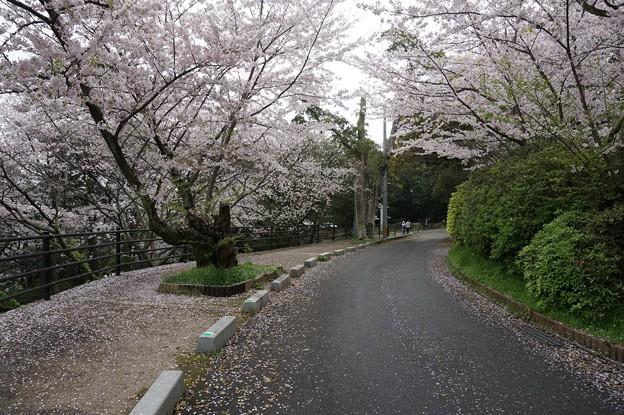 写真: 2017年4月9日 西公園 桜 福岡 さくら 写真 (67)