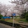 写真: 2017年4月9日 西公園 桜 福岡 さくら 写真 (87)