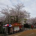 写真: 2017年4月9日 西公園 桜 福岡 さくら 写真 (93)