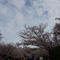 写真: 2017年4月9日 西公園 桜 福岡 さくら 写真 (94)