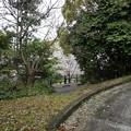 写真: 2017年4月9日 西公園 桜 福岡 さくら 写真 (100)
