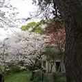 写真: 2017年4月9日 西公園 桜 福岡 さくら 写真 (102)