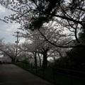 写真: 2017年4月9日 西公園 桜 福岡 さくら 写真 (103)