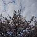 写真: 2017年4月9日 西公園 桜 福岡 さくら 写真 (104)