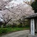 写真: 2017年4月9日 西公園 桜 福岡 さくら 写真 (113)