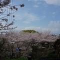 写真: 2017年4月9日 西公園 桜 福岡 さくら 写真 (126)
