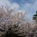 写真: 2017年4月9日 西公園 桜 福岡 さくら 写真 (127)
