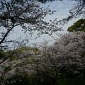写真: 2017年4月9日 西公園 桜 福岡 さくら 写真 (128)