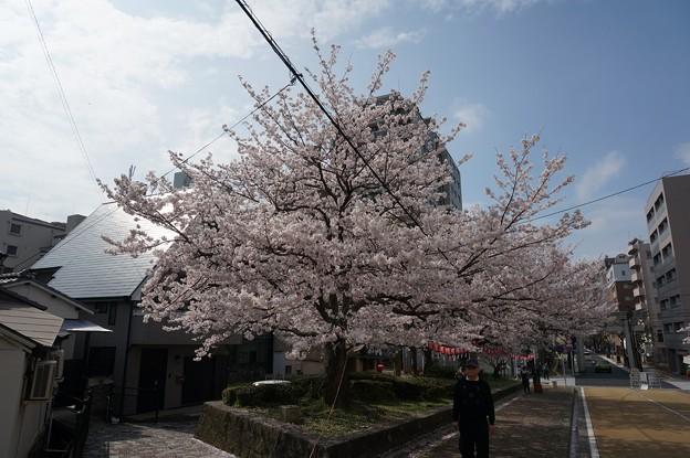 2017年4月9日 西公園 桜 福岡 さくら 写真 (136)