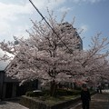 写真: 2017年4月9日 西公園 桜 福岡 さくら 写真 (136)