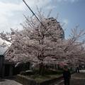 Photos: 2017年4月9日 西公園 桜 福岡 さくら 写真 (136)