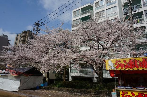 2017年4月9日 西公園 桜 福岡 さくら 写真 (137)