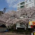 写真: 2017年4月9日 西公園 桜 福岡 さくら 写真 (137)