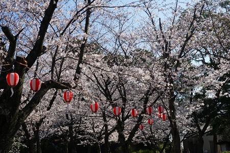 2018年3月28日撮影 西公園 桜 福岡 さくら満開 写真画像 (12)