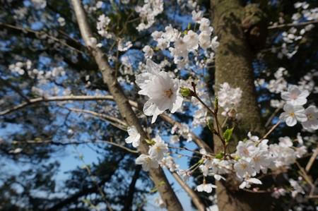 2018年3月28日撮影 西公園 桜 福岡 さくら満開 写真画像 (20)