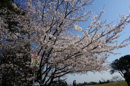 2018年3月28日撮影 西公園 桜 福岡 さくら満開 写真画像 (41)