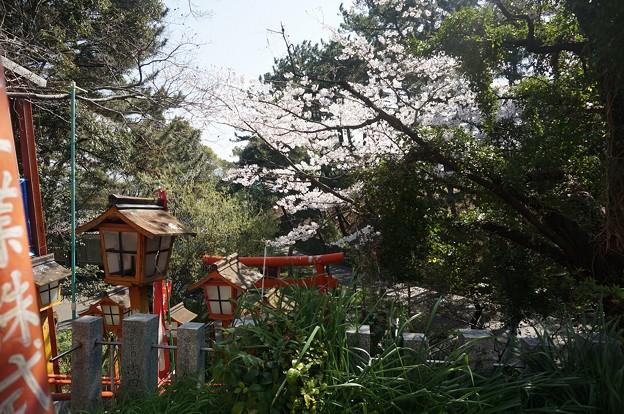 2018年3月28日撮影 西公園 桜 福岡 さくら満開 写真画像 (80)