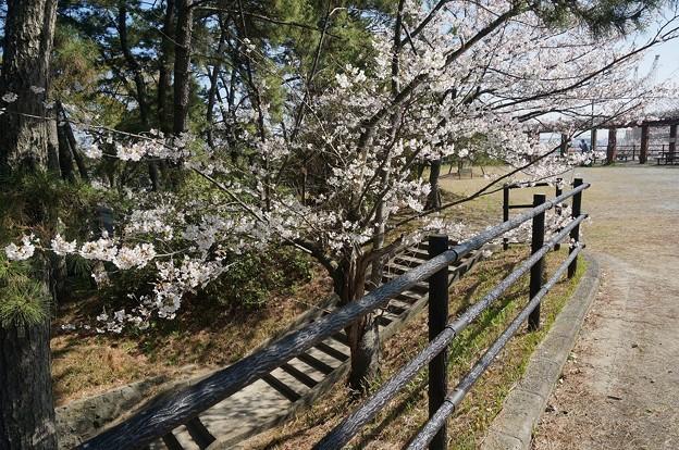 2018年3月28日撮影 西公園 桜 福岡 さくら満開 写真画像 (81)