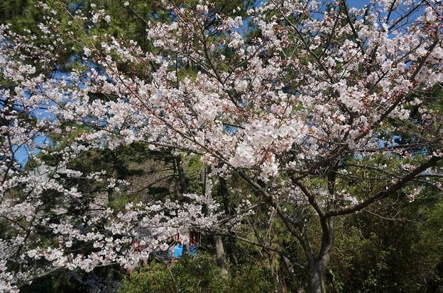 2018年3月28日撮影 西公園 桜 福岡 さくら満開 写真画像 (83)