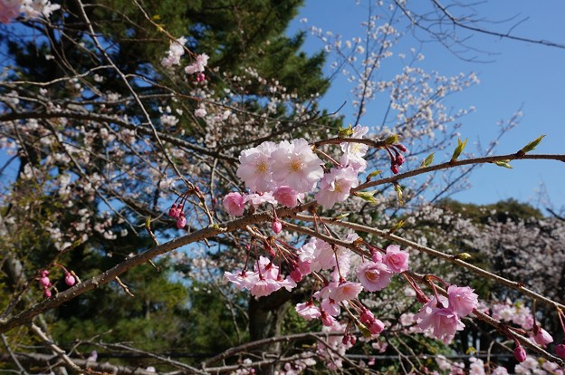 2018年3月28日撮影 西公園 桜 福岡 さくら満開 写真画像 (84)
