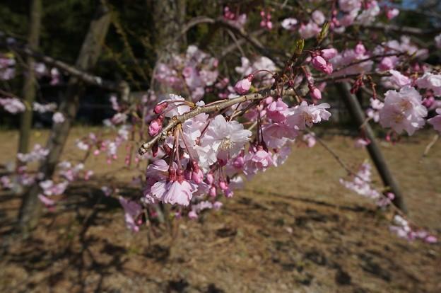 2018年3月28日撮影 西公園 桜 福岡 さくら満開 写真画像 (85)