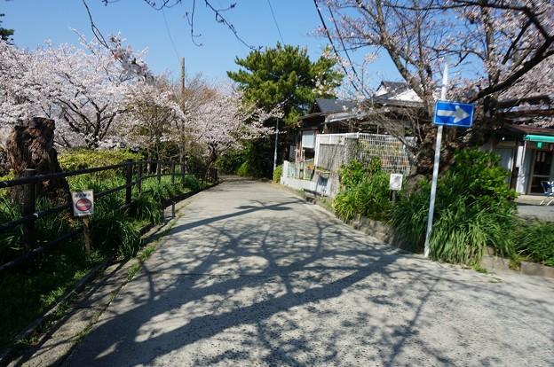2018年3月28日撮影 西公園 桜 福岡 さくら満開 写真画像 (91)