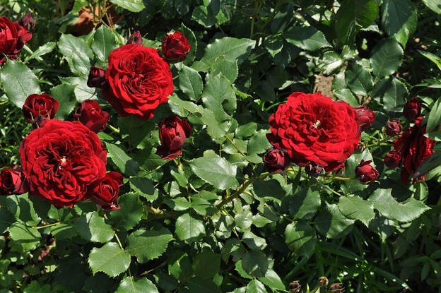 Photos: Rose Gardenの薔薇