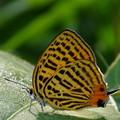写真: ウラナミアカシジミ 5.27-1