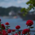 Photos: ヴェルニー公園 薔薇