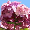 青空に紫陽花