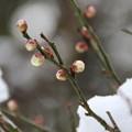 写真: 雪の白梅