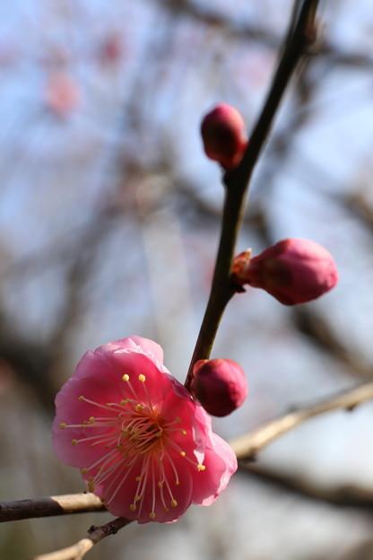 ピンクの紅梅