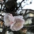 写真: 八重の梅