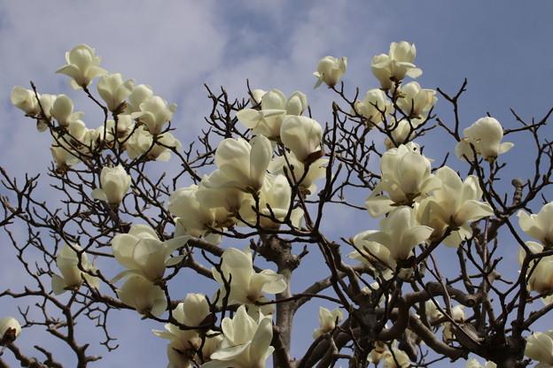 写真: 木蓮の木