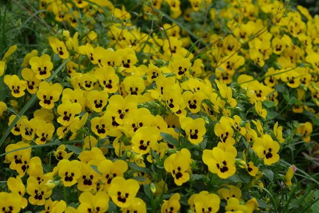 黄色いビオラの山