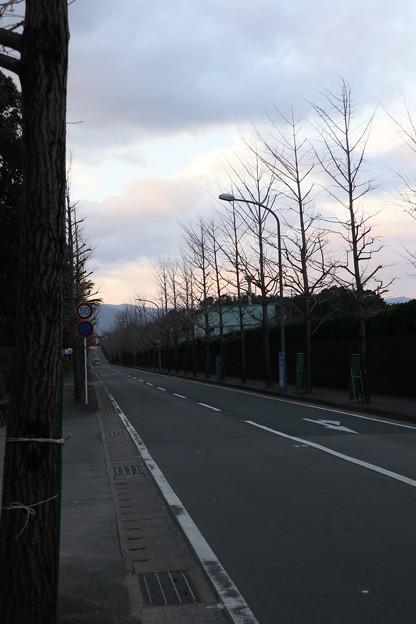 すっかり葉の落ちた銀杏並木
