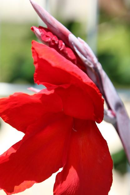 赤いカンナ