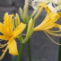 Photos: 黄色い彼岸花