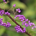 Photos: 小紫