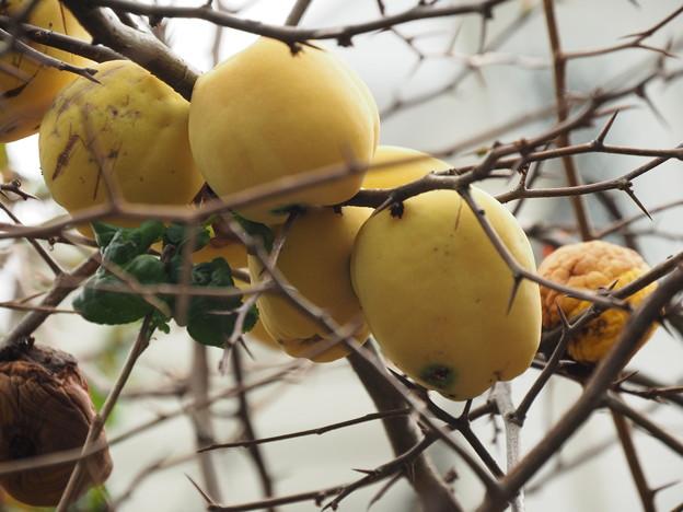 花梨の実が一杯