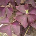 Photos: オキザリスの葉