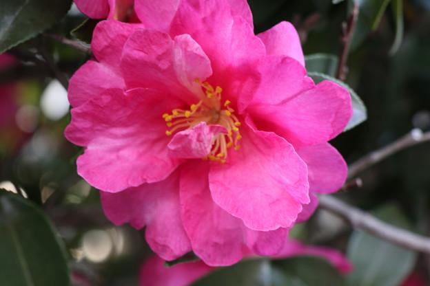 赤い山茶花