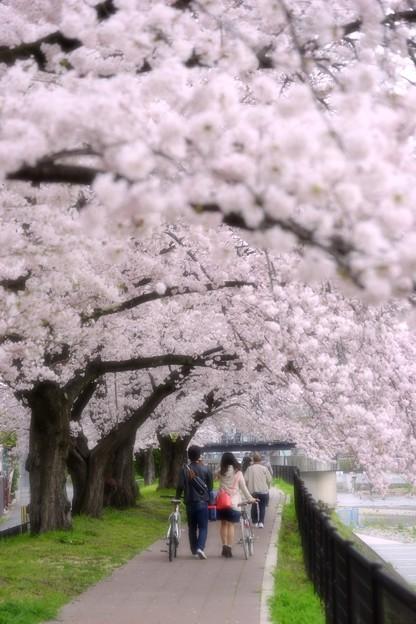 満開お花見散歩