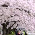 Photos: 満開お花見散歩