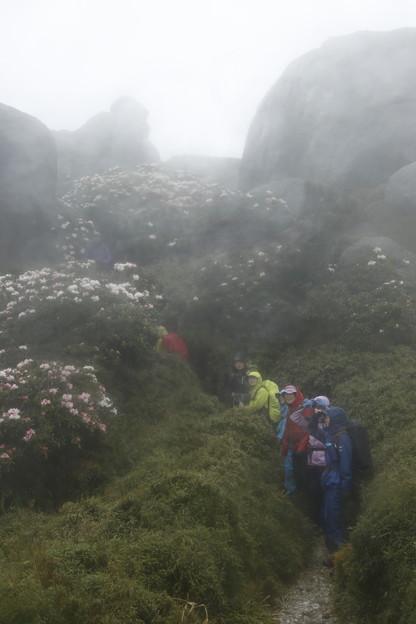 日本の山 ゆっくり登山 宮之浦岳 平岩のシャクナゲ、きれいでした