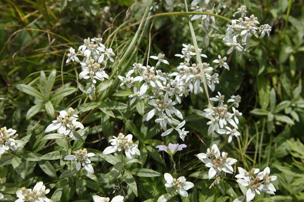 日本の山 美ヶ原ロングトレイル 武石峰付近のウスユキソウ、花の盛りです