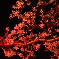 信号機の反射で色が変わる桜