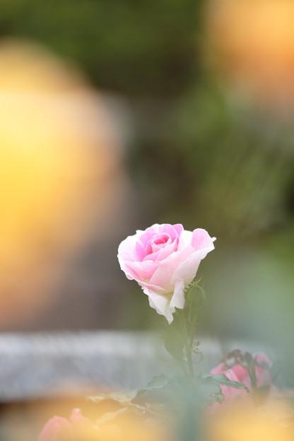 伊丹・荒牧バラ公園05