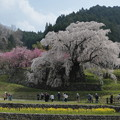 Photos: 奈良・又兵衛桜03