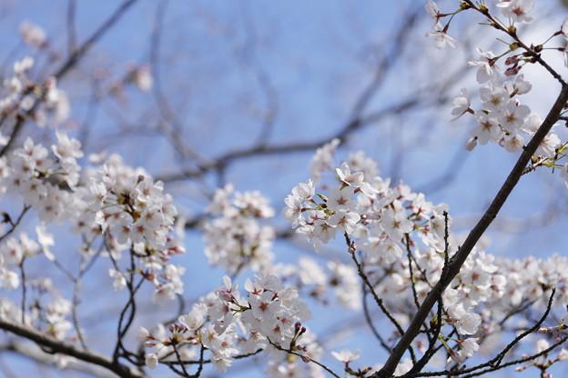 千里川の桜12